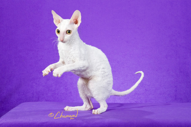 Cornish Rex Kittens
